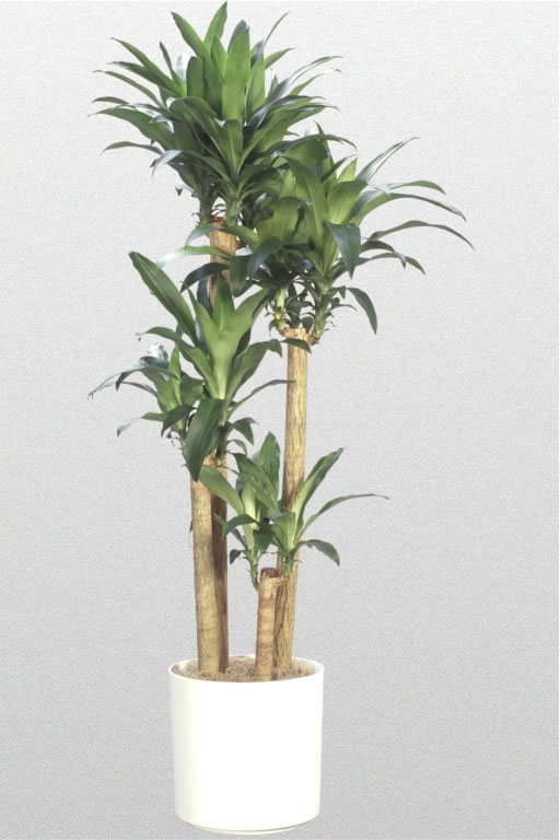 Dracaena Fragrans Lemon Lime Dracaena fragrans '